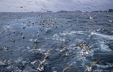 SalvinÃs Albatross (Diomedea Cauta Salvini) getting attracted by squid. Bounty Islands, Subantarctic New Zealand