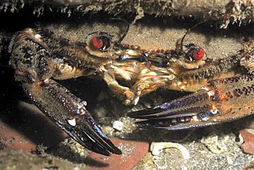 Velvet swimming crab (Liocarcinus puber), St Brides, Pembrokeshire, Wales, UK, Europe