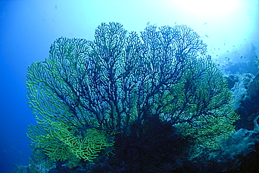 Gorgonian Sea Fan - Annella reticulata (Supergorgia reticulata), Sipadan, Sabah, Malaysia, Borneo, South-east Asia