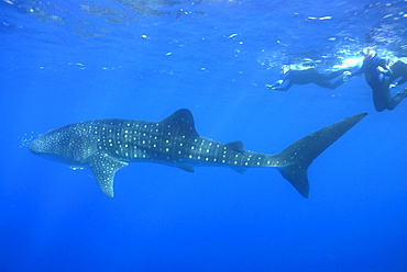 Whale shark researcher and Whale Shark , Rhincodon typus, Mahe, Seychelles, Indian Ocean