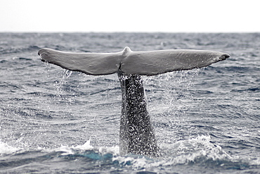 Sperm Whale (Physeter macrocephalus). Azores, North Atlantic. Taken 2008