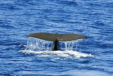 Sperm Whale (Physeter Macrocephalus) Azores, North Atlantic