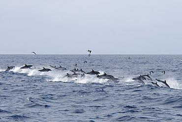 Atlantic Spotted Dolphin (Stenella Frontalis). Azores, North Atlantic