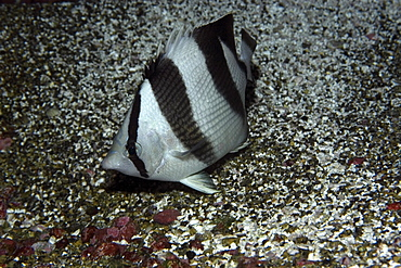 Banded butterflyfish (Chaetodon striatus), St. Peter and St. Paul's rocks, Brazil, South America
