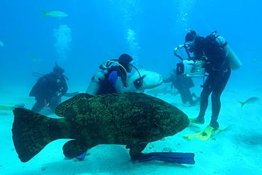 Divers play with and film Nurse sharks (Ginglymostoma cirratum) and a Goliath grouper (Epinephelus itajara), Molasses Reef, Key Largo, Florida, United States of America, North America