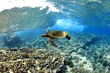 Juvenile green sea turtle (Chelonia mydas) swimming in shallow coral reef, Captain Cook, Big Island, Hawaii, United States of America, Pacific - 920-275