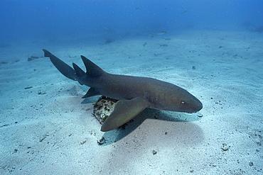 Nurse shark (Ginglymostoma cirratum), Molasses Reef, Key Largo, Florida, United States of America, North America