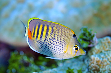 Spot-banded butterflyfish (Chaetodon punctatofasciatus), Pohnpei, Federated States of Micronesia, Caroline Islands, Micronesia, Pacific Ocean, Pacific