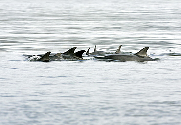 A group of resident bottlenose dolphins (Tursiops truncatus) travel through the Moray Firth, Scotland. This is a mother and calf group in calm water exhibiting resting behaviour.