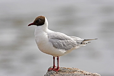 A Black Headed Gull (Larus ridibundus) in breeding plumage, Moray Firth, Scotland.