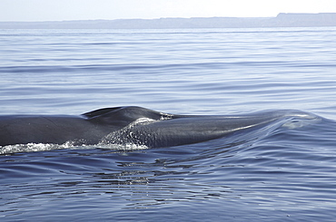Fin whale (Balaenoptera physalus) head shoving a bow wave in front of it. Gulf of California. (A4 only)
