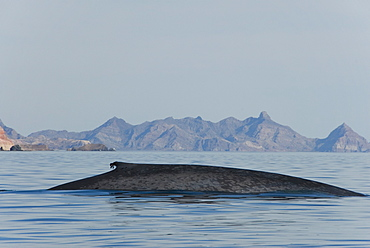 Blue whale (Balaenoptera musculus). A classic view of a blue whale. Gulf of California.
