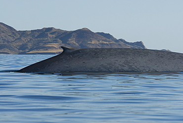 Blue whale (Balaenoptera musculus). The typically mottled skin colouring of a blue whale and an equally typical dorsal fin. Gulf of California.