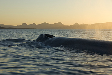 Blue whale (Balaenoptera musculus). The back and blowholes of a blue whale at dawn. Gulf of California.