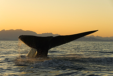 Blue whale (Balaenoptera musculus). A blue whale tail slides into the sea at sunset. Gulf of California.