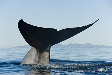 Blue whale (Balaenoptera musculus). The huge tail of a blue whale raised high before a deep dive. Gulf of California.