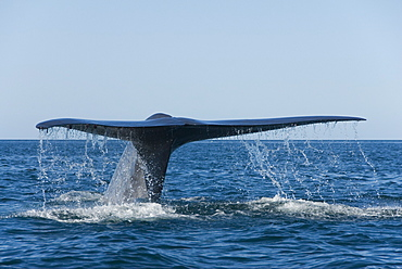 Blue whale (balaenoptera musculus). A blue whale tail. Gulf of California.
