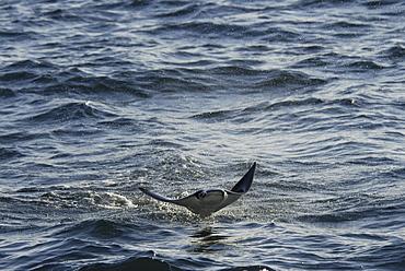 Mobula ray (Mobula japonica). Mobula ray wings outspread. Gulf of California.