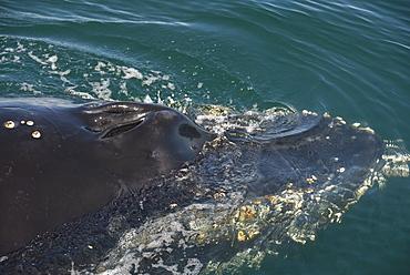 Humpback whale (Megaptera novaeangliae). The blowholes of a humpback whale. Gulf of California.