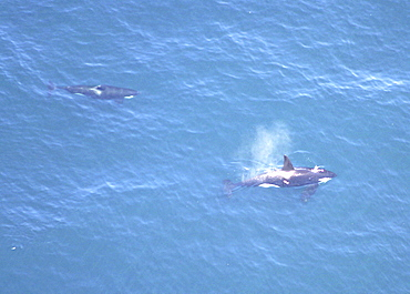 Aerial of Orca or Killer Whale (Orcinus orca). Gulf of Maine, USA.    (rr)