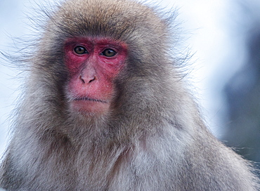 Snow monkey, Honshu, Japan, Asia