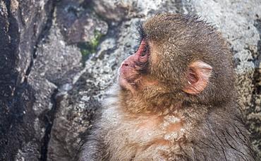 Snow Monkey face, Honshu, Japan, Asia