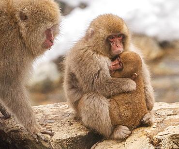 Snow monkey family, Honshu, Japan, Asia