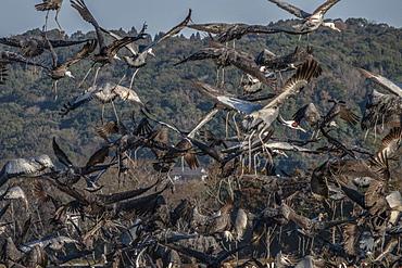 White naped cranes taking off, Arasaky, Hokkaido, Japan, Asia