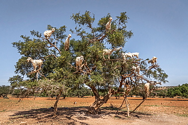 Goats in a tree, Morocco, North Africa, Africa