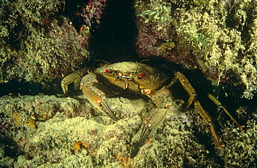Velvet swimming crab (Liocarcinus puber) positioned in a crevice. UK.