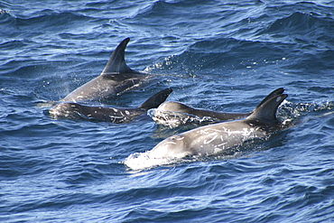 Risso's dolphins surfacing, juvenile in middle (Grampus griseus) Azores, Atlantic Ocean (A4 only).
