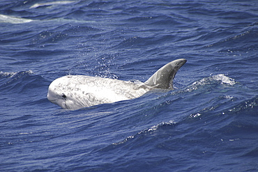 Risso's Dolphin, Grampus griseus, swimming off the Azores Islands (A4 only).