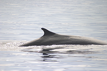 Fin Whale ( Balaenoptera physalus) dorsal fin. Azores (A4 only).