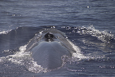 Fin Whale, Balaenoptera physalus, showing blowhole and back off the Azores Islands (A4 only).