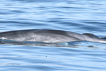 Fin Whale at the surface showing the distinctive chevron pattern. Azores, North Atlantic