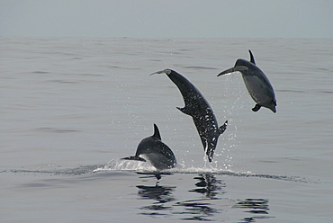 Bottlenose Dolphin, (Tursiops truncatus) leaping trio. Azores