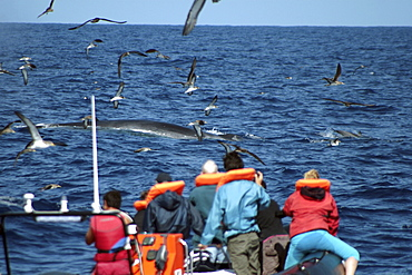 Feeding Fin Whale being watched by Whale Watchers in the Azores