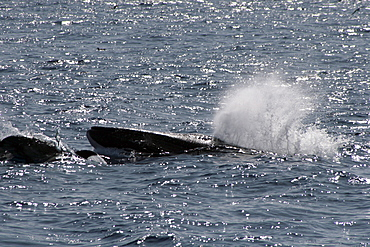 Fin Whale Surfacing with bowriding dolphins. Azores, North Atlantic