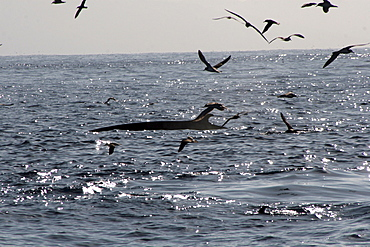 Fin Whale surfacing amid Cory's Shearwaters in the Azores
