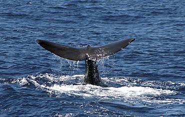 Sperm Whale Fluke. Azores, North Atlantic