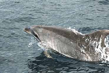 Bottlenose dolphin with some sort of skin problem, swimming off the Azores, North Atlantic