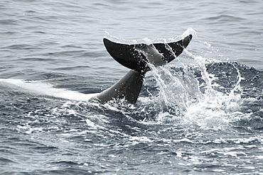 Bottlenose Dolphin tail slap. Azores, North Atlantic