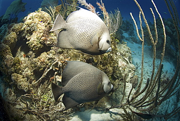 Grey Angelfish (Pomacanthus arcuatus), two fish swimming over coral reef, Cayman Islands, Caribbean