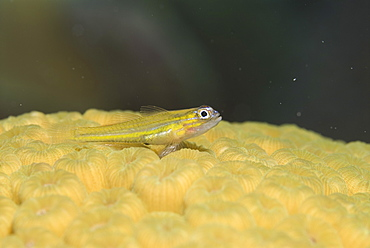 Peppermint Goby (Coryphopterus lipernes) yellow fish sitting on cream hard coral, Cayman Islands, Caribbean