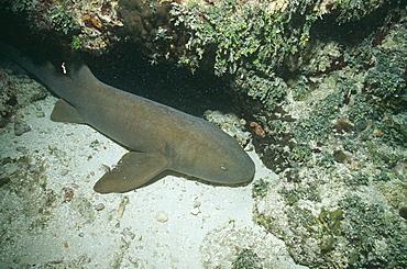 Nurse Shark. Bahamas.