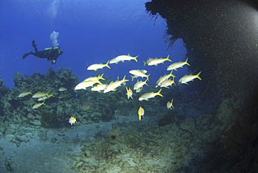 Diver with yellow goatfish (Mulloidichthys martinicus), near coral reef with blue water behind, Cayman Islands, Caribbean