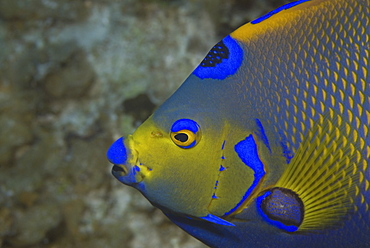 Queen angelfish (Holacanthus ciliaris), profile of head, showing brilliant colour markings, Cayman Islands, Caribbean