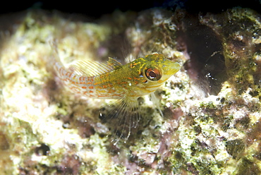 Rosy Blenny ( Malacoctenus macropus), greeny/yellow in colour and resting on light indistinct corals, Cayman Islands, Caribbean