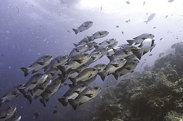 Black & White Snapper (Macolor niger), large school of fish moving up side of reef, Sipadan, Mabul, Borneo, Malaysia