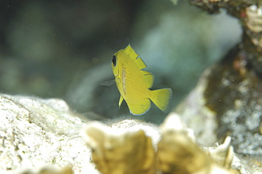 Juvenile Blue Tang (Acanthurus coeruleus), juveniles are yellow & this small fish is swimming away from camera over indistinct reef, Cayman Islands, Caribbean